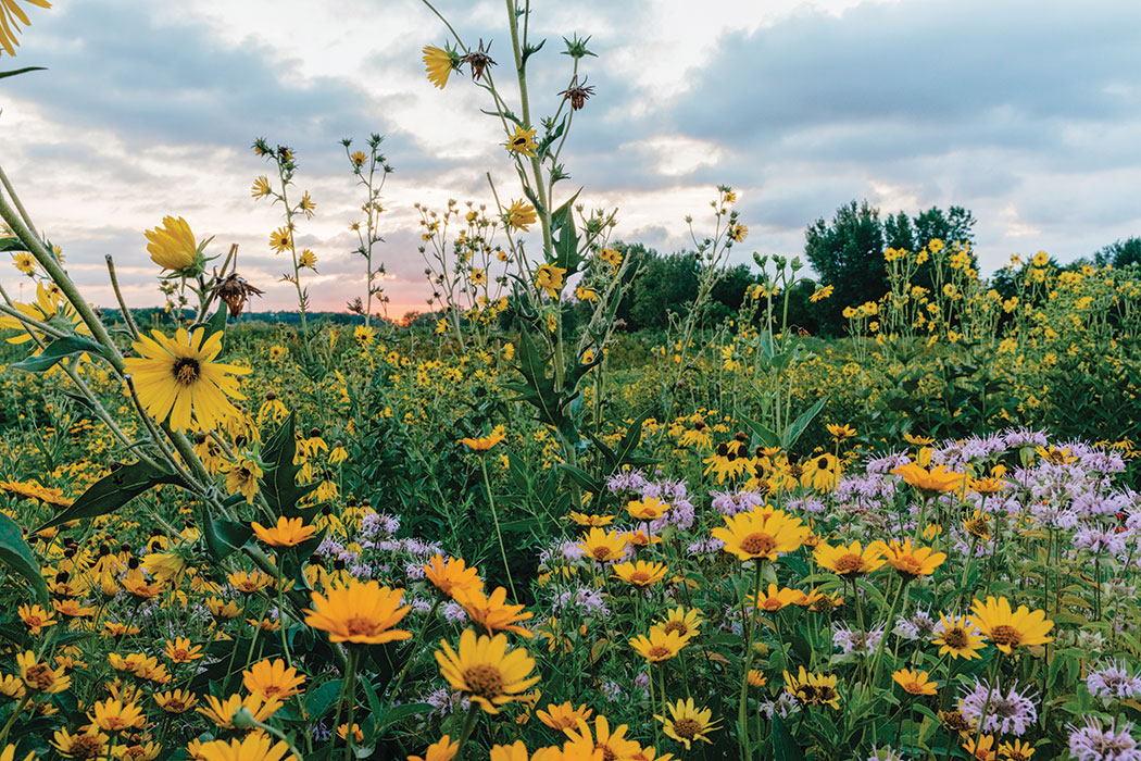 A shot of the prairie at sunset, with a cacophony of plant life filling the bottom two-thirds of the frame. There is an abundance of lush green from the plant stems; warm yellow flowers with their petals popped open; and wispy, pale-purple flowers that have long, thin, antennae-like extensions emanating from the center of their down-turned petals. Clouds fill the sky as the last bits of warmth from the sun fade away at the horizon.