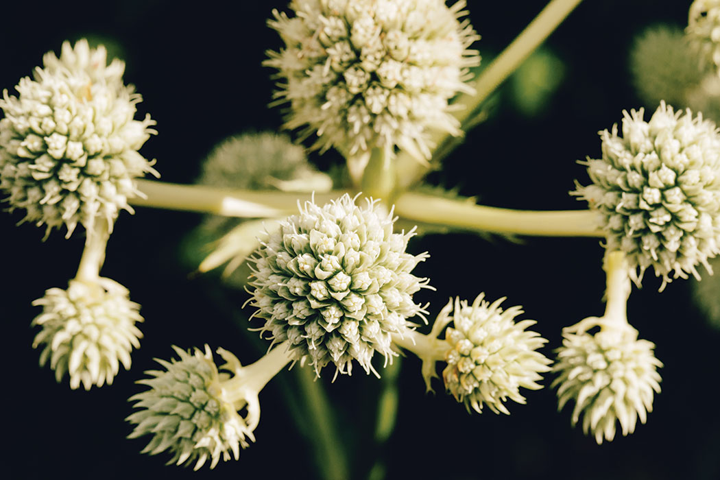 A close-up shot of the plant rattlesnake master, which has a pale greenish-white coloring and thick hearty stems that culminate in conical heads, each comprised of dozens of small buds surrounded on either side by tiny, spiky leaf-like pieces.