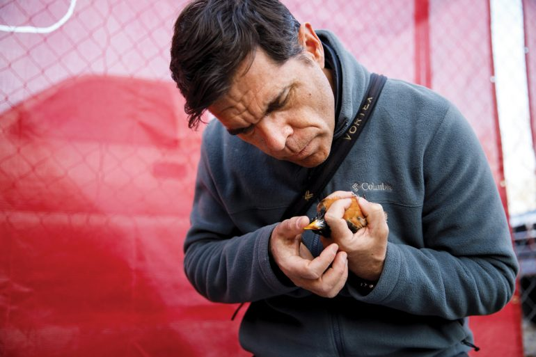 """While standing in front of a chain-link fence covered with a red tarp, IU biologist looks down to inspect a robin. He holds the robin in his left hand while adjusting a GPS tracking """"backpack"""" fitted to its back with his right hand."""